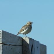 Heidelerche (Wood lark), Foto: H. Glader