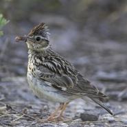 Heidelerche (Wood lark), Foto: M. Woike