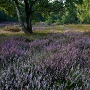 Trockenheide (Dry heath) 01, Foto Hans Glader