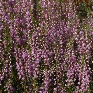 Besenheide (Scotch heather), Foto Klaus Kretschmer