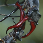 Lucanus cervus 05, Foto Klaus Kretschmer