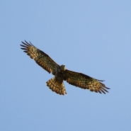 Wespenbussard (Honey buzzard), Foto Hans Glader