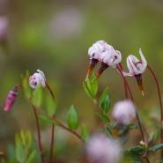 Moosbeere (European cranberry), Foto Hans Glader