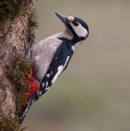 Buntspecht (Great spotted woodpecker), Foto Hans Glader