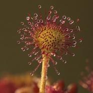 Rundblättriger Sonnentau (Common sundew), Foto Hans Glader