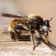 Raubfliege (Asilid fly), Foto Klaus Kretschmer