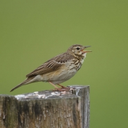 Baumpieper (Brown tree pipit), Foto Hans Glader