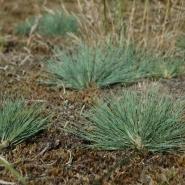 Silbergras (Whitish hair grass), Foto Klaus Kretschmer