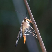 Skorpionsfliege (Panorpa communis), Foto Klaus Kretschmer