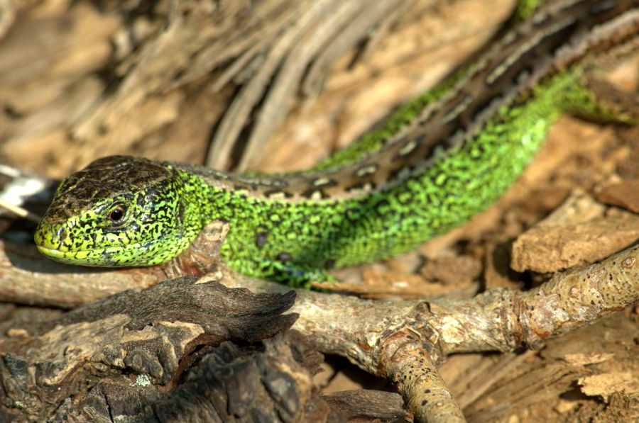 Zauneidechse Bodensaure Eichenwalder Mit Mooren Und Heiden